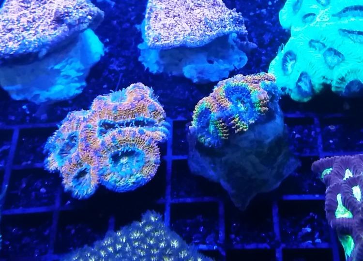 Coral Colour Lens pure