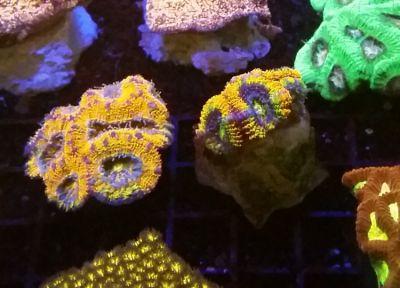 CoralColourLens_Yellow1li3agKe4VdBq